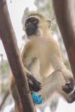 Green vervet monkey Royalty Free Stock Images