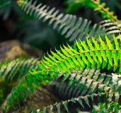 Green vibrant fern leaves. Royalty Free Stock Images