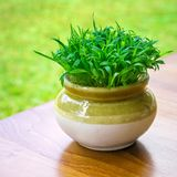 Green vibrant grass in the pot Stock Photography