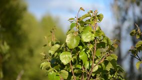 Green vibrant young birch tree leaves in summer sunshine. And warm breeze stock video footage