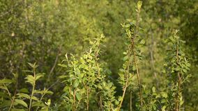 Green vibrant young birch tree leaves in summer sunshine. And warm breeze stock footage