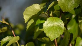 Green vibrant young birch tree leaves in summer sunshine. And warm breeze stock video