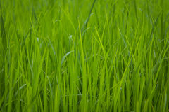 Green view of paddy rice field in Sekinchan Selangor Royalty Free Stock Image