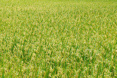 Green view of paddy rice field in Sekinchan Selangor. Royalty Free Stock Image