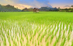 Green view of rice fields at asian countryside. In the morning lighting Royalty Free Stock Image