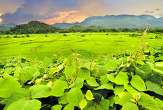Green view of rice fields at asian countryside. In the morning lighting Stock Photo