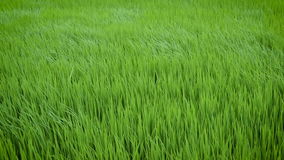Green view of rice plant swinging in the wind stock footage