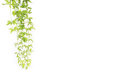 Green vine Stock Image