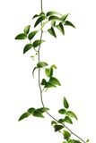 Green vine Royalty Free Stock Photo