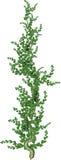 Green Vine Royalty Free Stock Photos