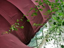 Green vine climbing on bright red canvas canopy o Stock Photos