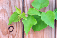 Green vine on country fence. Sense of country created by knot hole and grain in fence boards. Leaves form graceful Stock Photos