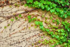 Green vine creeper leaves on a building wall Royalty Free Stock Images