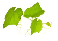 Green vine foliage on white Stock Images