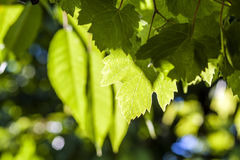 Free Green Vine Grape Leaves In Summer Close Up Stock Image - 94970181