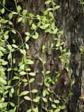 Green vine grow up full the old wood for background texture.  Royalty Free Stock Photos