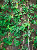 Green vine grow up full the wall. For background texture Stock Photos