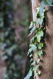Green vine growing on tree Stock Images