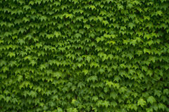 Green Vine Leaf Background Stock Photography