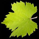 Green Vine leaf Stock Image