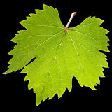 Green Vine leaf Stock Photography