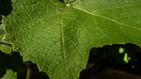 Vine leaf. A green vine leaf with nice texture Royalty Free Stock Photography