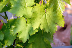 Green vine leaves Stock Photos