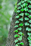 Green vine leaves close-up Stock Images