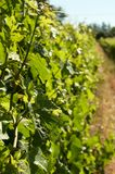 Green vine leaves in sunshine. Bright green vine leaves on wine farm on a sunny day Royalty Free Stock Images