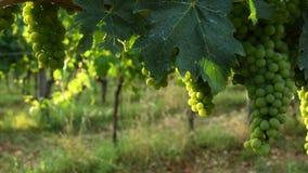 Green vine leaves in a vineyard during summer season. Tuscany region in Italy. 4K UHD Video. Nikon D500 stock video