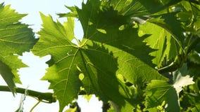 Green vine leaves in a vineyard during summer season. Tuscany region in Italy. 4K UHD Video. Nikon D500 stock footage