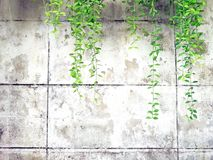 Green vine, liana or creeping plant on old white cement or grunge abstract wall background with copy space royalty free stock image