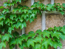 Green vine on old wall. Green leaves vine climb on old wall in the garden Stock Images