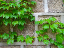 Green vine on old wall. Green leaves vine climb on old wall in the garden Stock Photography