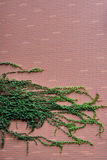 Green vine plant attached on red wall Royalty Free Stock Photo
