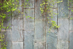 Green vine plant hanging marble brick wall background. this imag Stock Photos