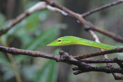 Green Vine snake on branches. A slander Green Vine Snake Ahaetulla Nasuta crawls slowly among the branches on a rainy day. It has bright yellow eyes and is stock images
