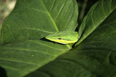 Green vine snake,  Oxybelis fulgidus Stock Photos