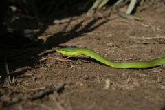 Green vine snake, Oxybelis fulgidus. Single reptile, Belize stock photography