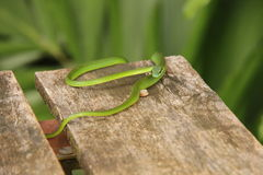 Green vine snake ready to pounce Royalty Free Stock Photo