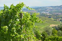 Green vine twigs and hills background in a sunny day in Italy. Green vine twigs and hills, background in a sunny summer day in Italy Stock Photos