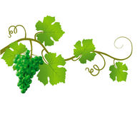 Green vine on a white background Stock Image