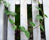 Green vine on white fence. Green vine on white wooden fence Stock Photos