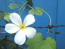 Green vine and white flower on rusty wire fence Royalty Free Stock Images