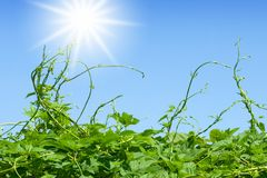 Green vines approaching to sun. On blue sky Stock Images