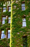 Green Vines Around Old Windows Stock Images