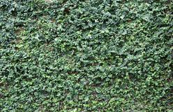 Green vines or ficus pumila on old texture brick wall. With copy space for your text Royalty Free Stock Photography