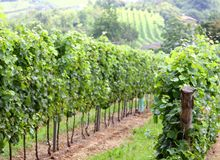 Green vines on the Hill Stock Photography