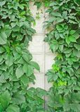 Green vines on a light wall Royalty Free Stock Photos
