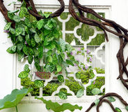 Green vines wrapped around the window. Park green vines wrapped around the window stock photo